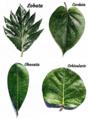 Plant morphology - Foliorum forma.png