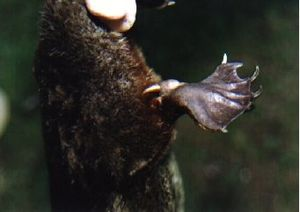 Platypus - The calcaneus spur found on the male's hind limb is used to deliver venom.