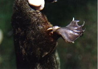 Venomous mammal - The calcaneous spur found on the male platypus's hind limb is used to deliver venom.