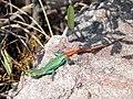 Platysaurus orientalis.jpg