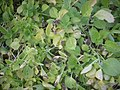 Plectranthus rotundifolius DSCN0610.jpg