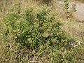 Pluchea ovalis (5354703308).jpg