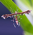 Plume moth - 06.12.21.jpg
