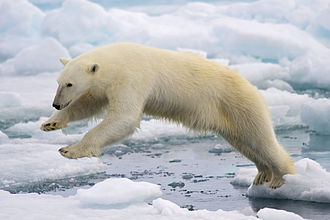 Polar bear - Polar bear jumping on fast ice