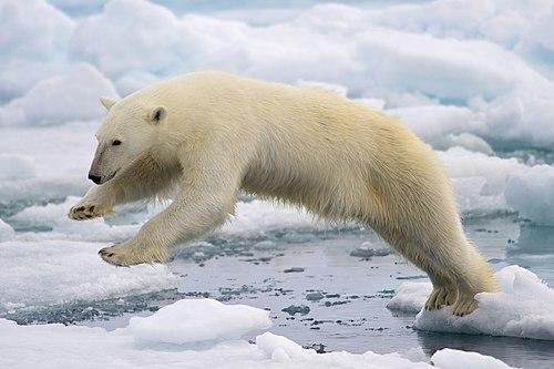 500px polar bear adf