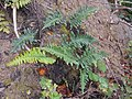 Polypodium vulgare 2017-09-16 4059.jpg