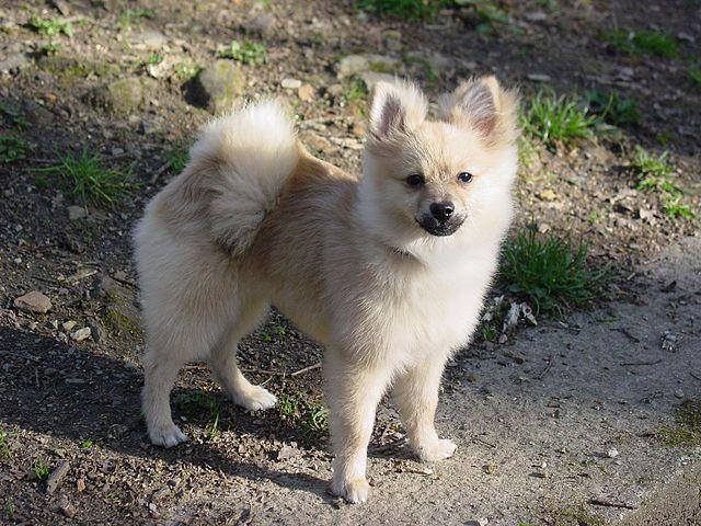 File:Pomeranian dog.jpg - Wikimedia Commons Pomeranian Wiki
