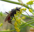 Pompilidae - Flickr - gailhampshire (2).jpg