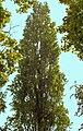 Populus nigra Italica(02).jpg
