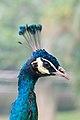 Portrait of a peafowl (25813160326).jpg