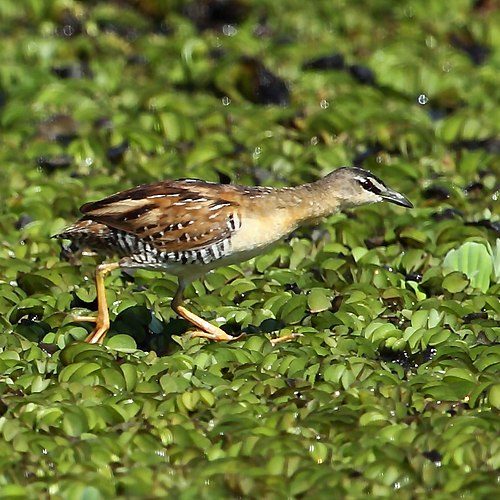 500px porzana flaviventer   yellow breasted crake