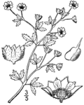 Potentilla paradoxa drawing 01.png