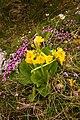 Primula auricula (5827430181).jpg