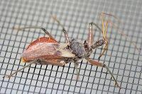 An assassin bug walking on a fine metal mesh.