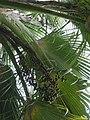 Pritchardia maideniana (5644359100).jpg