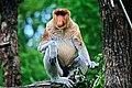 Proboscis monkey at Apenheul.jpg