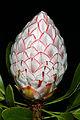 Protea cynaroides 1DS-II 5986.jpg