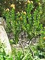 Proteaceae (Serres de la Madone).jpg