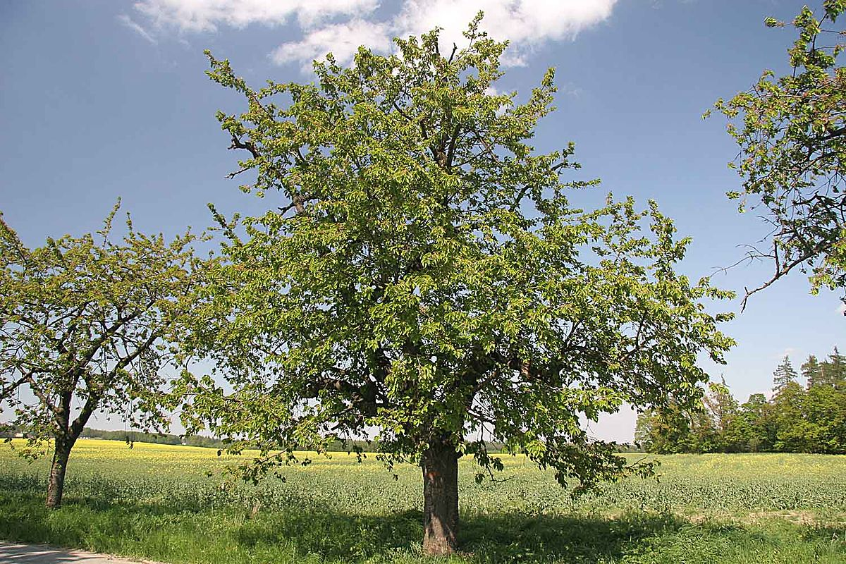 Prunus avium wikip dia - Tuer un arbre avec de l acide ...