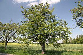 """Résultat de recherche d'images pour """"merisier arbre"""""""