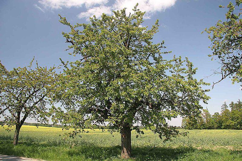 houppier d'un merisier dans la campagne en Dordogne
