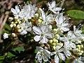 Prunus pumila 4 (5097489635).jpg