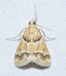 <i>Pseudoschinia</i> Genus of moths