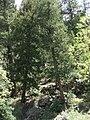 Pseudotsuga glauca Trees.jpg