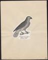Psittacus erythacus - 1809-1845 - Print - Iconographia Zoologica - Special Collections University of Amsterdam - UBA01 IZ18600067.tif