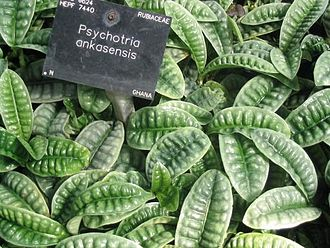 Psychotria - Image: Psychotria ankasensis