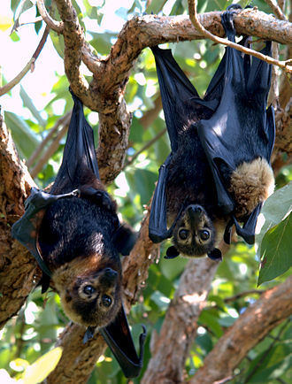 Spectacled flying fox - Male, female, and their young