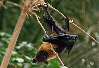 Zorro volador de la India