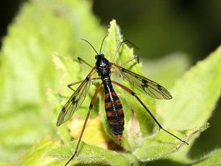 """<em><a href=""""http://search.lycos.com/web/?_z=0&q=%22Ptychoptera%20contaminata%22"""">Ptychoptera contaminata</a></em>"""