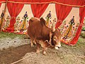 Punganur cattle-6-praba pet-salem-India.jpg