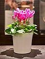 Purple white cyclamen in a white pot.jpg