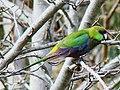 Purpureicephalus spurius (juvenile)-Perth, Western Australia.jpg