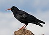 A Cornish Chough