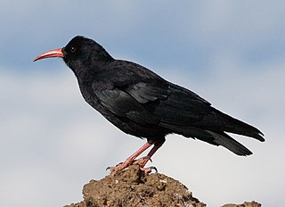 Red-billed chough Bird in the crow family from Eurasia and North Africa