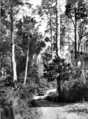 Queensland State Archives 1111 View of the road to Mount Glorious near Brisbane January 1931.png