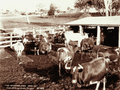 Queensland State Archives 5182 Cows and Milking Sheds Yangan 1899.png