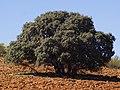 QuercusIlexEnCobeña.jpg