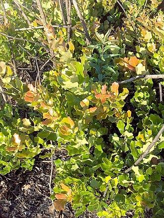Quercus chapmanii - Image: Quercus chapmanii (homeredwardprice)