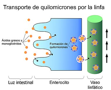 Función capilares linfáticos ubicación de y