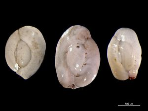 Foraminifera - The miliolid foraminiferan Quinqueloculina from the North Sea