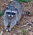 Raccoon-scavenge.jpg