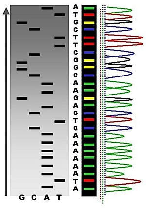 DNA sequencing - An example of the results of automated chain-termination DNA sequencing.