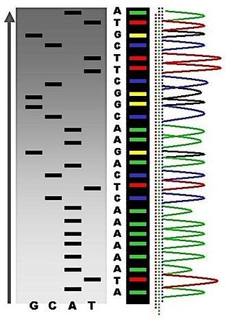 Sanger sequencing - Sequence ladder by radioactive sequencing compared to fluorescent peaks