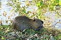 Ragondin (Myocastor coypus) (34).jpg