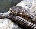 Rat Snake Umstead State Park 1919 (9302752876) (3).jpg