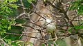 Rattling Cisticola (Cisticola chiniana) (6017320144).jpg